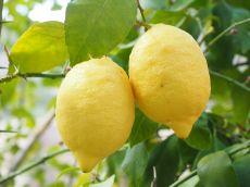 Lămâile – benefice în tratarea a peste 150 de boli