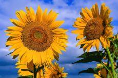 Floarea-soarelui – beneficii și proprietăți